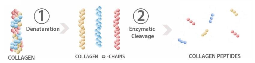 Collagen peptide là gì?